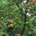 Плоды яблони Мелба