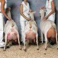 Молочные железы козы