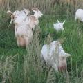На пастбище козы зааненской породы