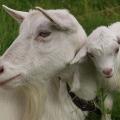 Счастливое семейство зааненской породы коз