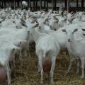 Много коз зааненской породы не бывает