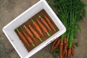 Как хранить морковь если нет погреба