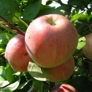Плоды яблони сорта Мельба