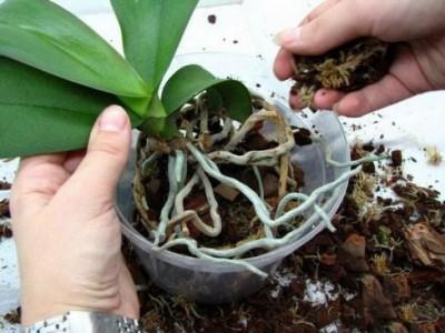 Особенности ухода за орхидеей в домашних условиях