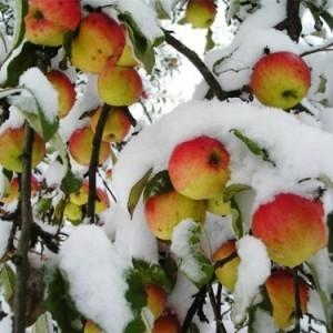 Яблони уральских сортов