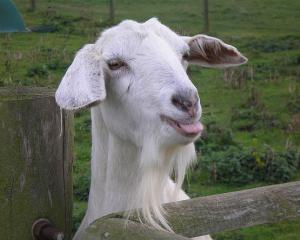 Уход за молочными козами зааненской породы