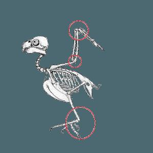 Заболевания мочекислым диатезом кур