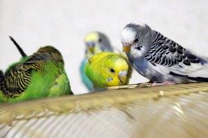 Закупорка кишечника птиц