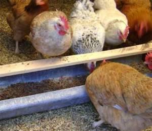Почему у курицы большая печень