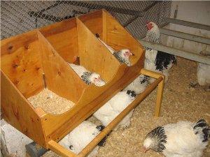 Почему курица не может разнестись