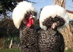 голландская белохохлая порода кур
