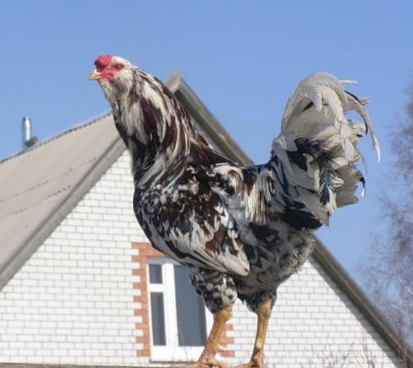 Орловская ситцевая порода кур: описание, характеристика продуктивности