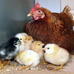Естественное выведение цыплят