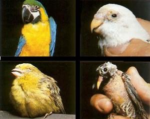 Хламидиоз птиц