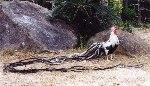 куры феникс описание