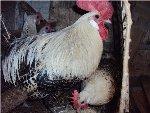 Английские куры английская порода кур и ее описание