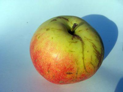 Пепин шафранный - плод