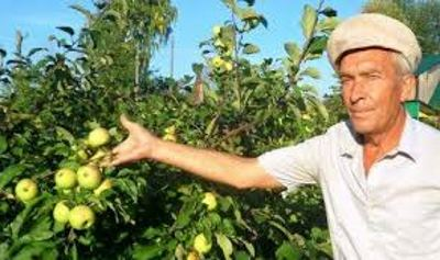 Посадка и уход за яблонями Белый налив