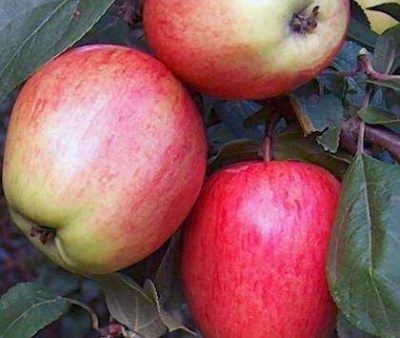 Сорт яблок Скала
