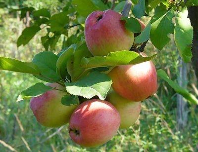 Сорт яблок - Солнышко