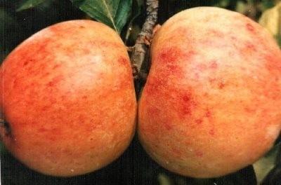 Вот так выглядит яндыковское яблоко