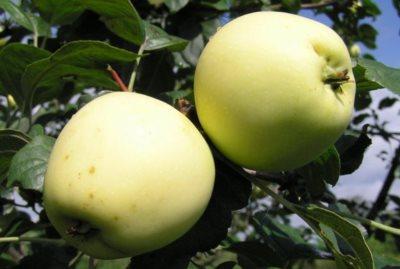 Яблоки сорта Чудное