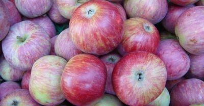 Яблоки сорта Терентьевка