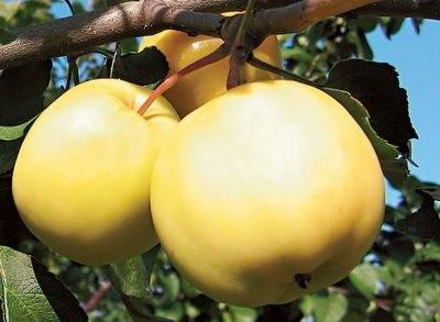 Яблоки сорта Янтарь