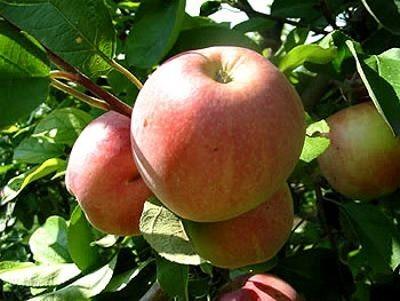 Яблоко от яблони сорта Свежесть