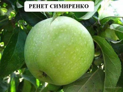 Яблоко сорта Симиренко