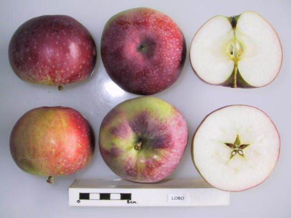 Яблоня сорта Лобо канадский сувенир