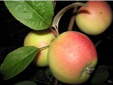 Сорт яблок кальвиль снежный фото и описание