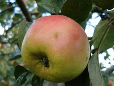 Ранет сорт яблок описание
