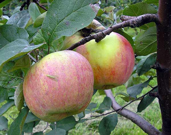 Растет не ввысь, а в ширь — яблоня сорта витязь