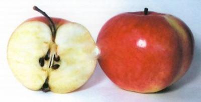 Яблоня Бельфлер Башкирский: описание и характеристики сорта, выращивание
