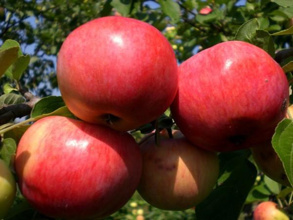 Яблоня красная горка описание сорта особенности и вкусовые качества плодов