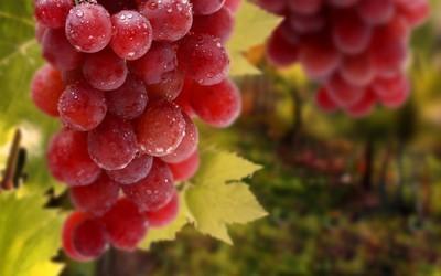 Виноград Кишмиш Лучистый – описание сорта, фото, рекомендации по выращиванию. Описание сорта винограда кишмиш розового цвета