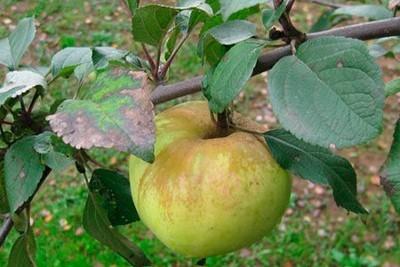 Яблоня сорт богатырь характеристика