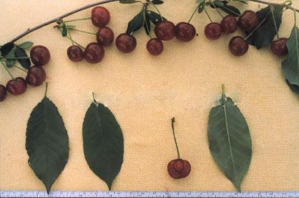 Вишня Ашинская: описание и характеристика сорта