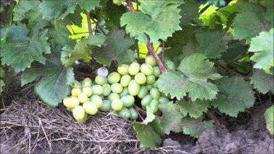Виноград «Подарок Запорожью»: описание сорта с фото, отзывы, посадка и уход