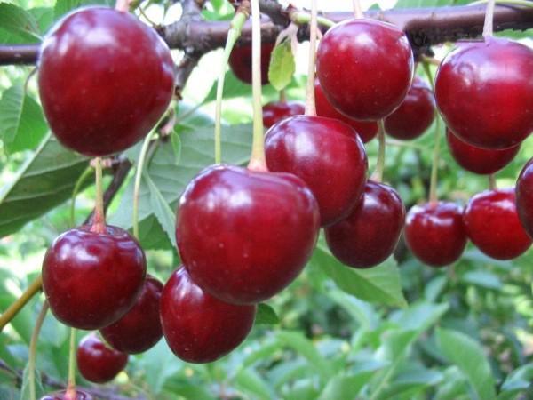 Детальное описание сорта вишни Владимирская