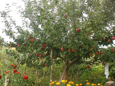 Сорт яблок анис фото и описание