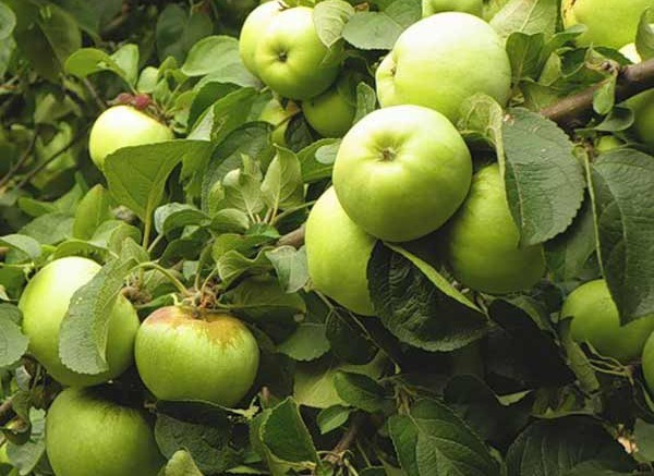 Чем покорила садоводов яблоня Антоновка