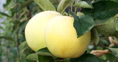 Раннеспелая яблоня Аркад Бирюкова: описание фото. Многоименная яблоня «Аркад летний», «желтый» или «длинный»