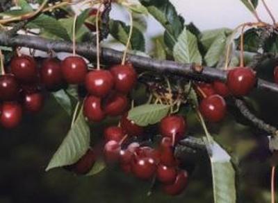 Сорт вишни Тургеневка: описание и характеристика