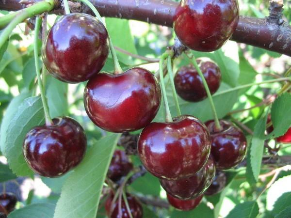 Владимирская вишня описание сорта — Наш сад