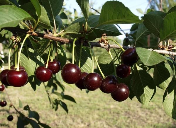 Описание и выращивание украинского сорта вишни Чернокорка
