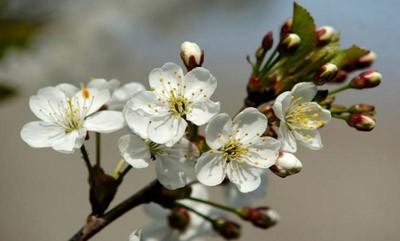 Агроном: Описание черного крупного сорта вишни Россошанская в 2019 году