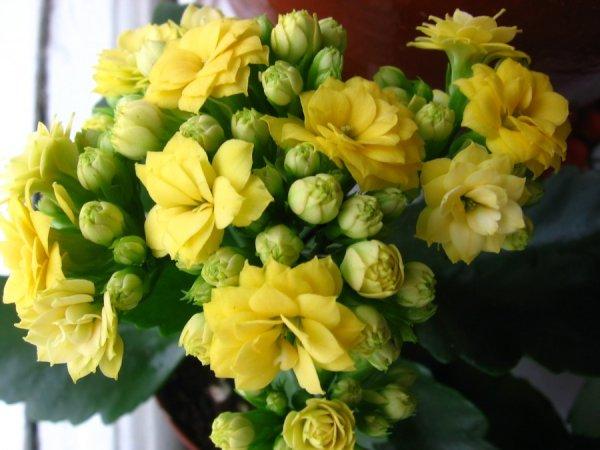 Каланхоэ Блоссфельда как вырастить цветок