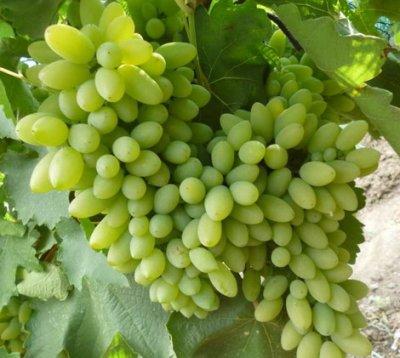 Описание сорта винограда Тимур и характеристика выращивания и ухода